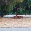 Emergenza cinghiali al San Paolo, un branco avvistato in via Troccoli