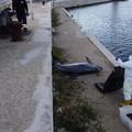 Un delfino morto al molo Sant'Antonio. Rimossa la carcassa