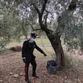 Sannicandro di Bari, sorpresi a rubare olive in un terreno privato. Due denunce