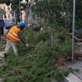 Pino crolla sulle auto a Bari, Carrieri: «Scarsa e inefficace manutenzione del verde urbano»