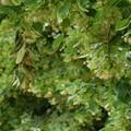 Bari non dimentica, un albero di tiglio per le vittime del Covid-19