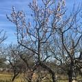 """""""Finta primavera """" in Puglia, l'allarme di Coldiretti: «Mandorli in fiore. Rischio shock termico»"""