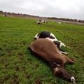 Maltempo sulla Puglia, un fulmine uccide le mucche a Noci