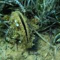 Strage di nacchere di mare, ricercatori UniBa scoprono il parassita responsabile