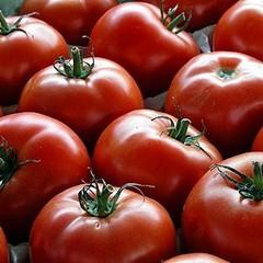 Al via la raccolta dei pomodori, la Puglia tra eccellenza e caporalato