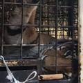 Domatore del circo ucciso a Triggiano, le otto tigri vendute?