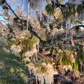 Maltempo, il gelo danneggia i raccolti: in fumo mandorle e ciliegie in provincia di Bari