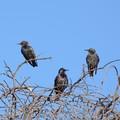 Regione Puglia delibera caccia a 30.000 storni, Regina (WWF): «Azione illegittima»