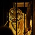 Bari, domatore ucciso dalle tigri, LAV chiede di potersi occupare dei felini