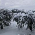 Neve sulla Puglia, danni a ulivi e mandorli in fiore