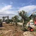 Bari, nuova casa per i primi ulivi espiantati da via Amendola