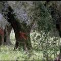 Focolaio Xylella a Monopoli, Arif Puglia: «Una cinquantina gli ulivi infetti»
