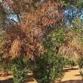 Focolaio Xylella in agro di Monopoli, Regione Puglia: «Subito eradicazioni delle piante infette»