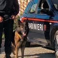 Casamassima, nascondeva droga in cantina. Pusher incastrato dal cane carbiniere Zilo