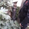 Triggiano (Bari), il fiuto del cane carabiniere Zilo trova la droga in casa di un 28enne