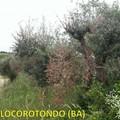 La Xylella arriva in provincia di Bari, cinque ulivi infetti a Locorotondo