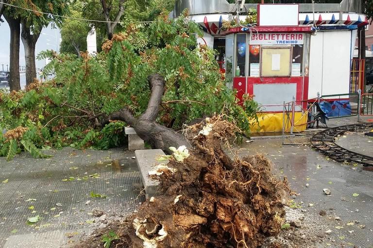 L'albero caduto in piazza Diaz. <span>Foto Comitato Salvaguardia Zona Umbertina</span>