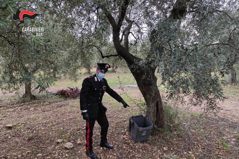 furto olive