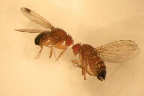 drosophila suzukii