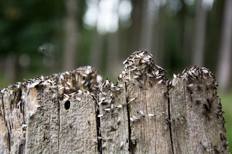 formiche alate