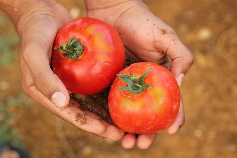 Un raccoglitore di pomodori