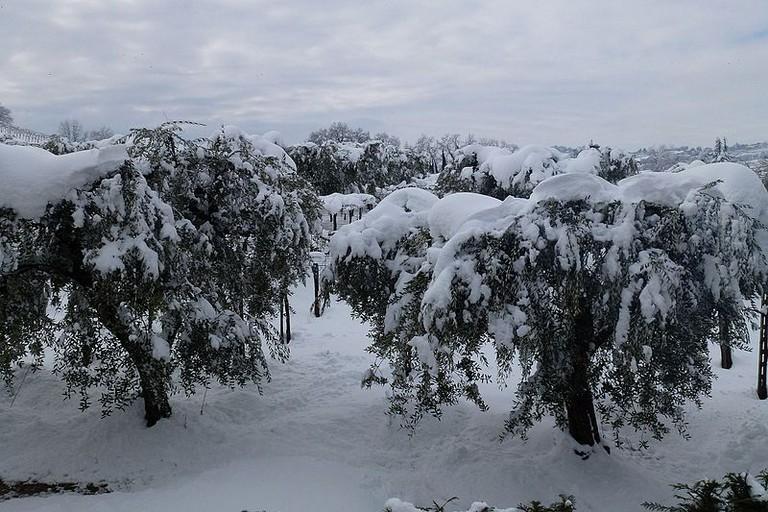 Ulivi con la neve