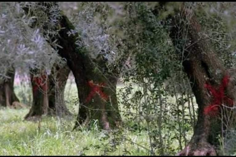 ulivi xylella