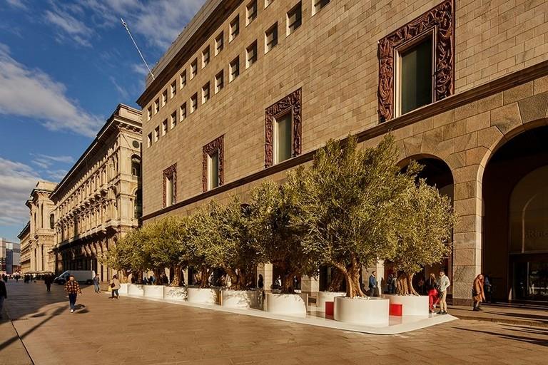 ulivi secolari in piazza a milano
